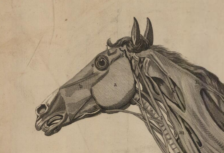 "Snape, Edward – ""A Muscular Preparation of an Horse"" (1778)"